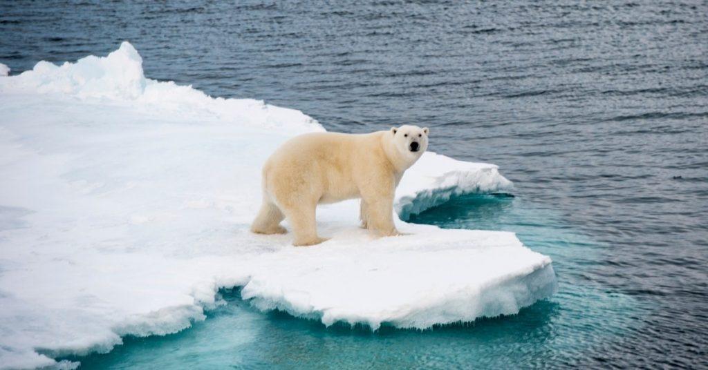 inuit polar bear