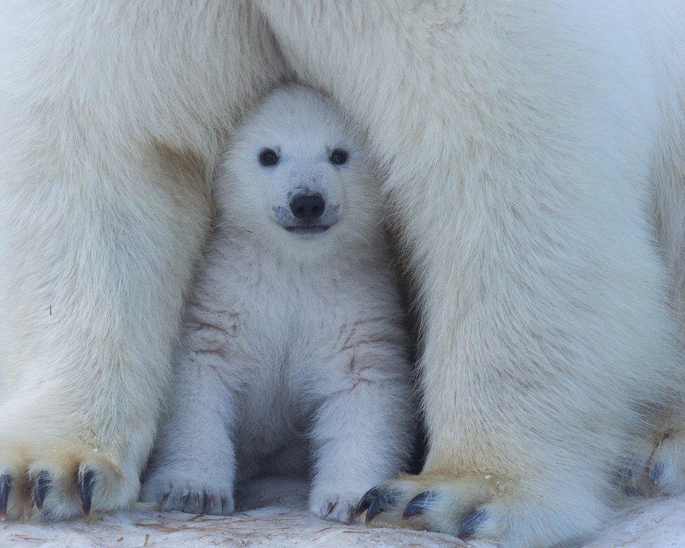 life cycle of a polar bear