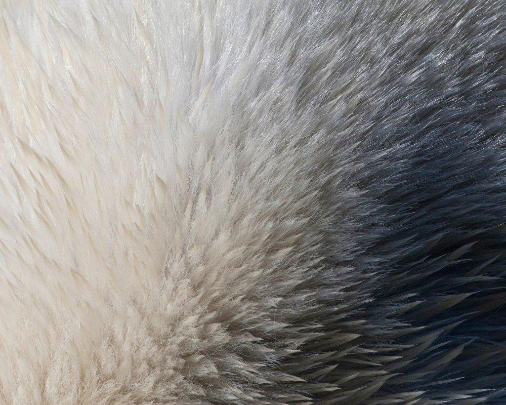 polar-bear-anatomy