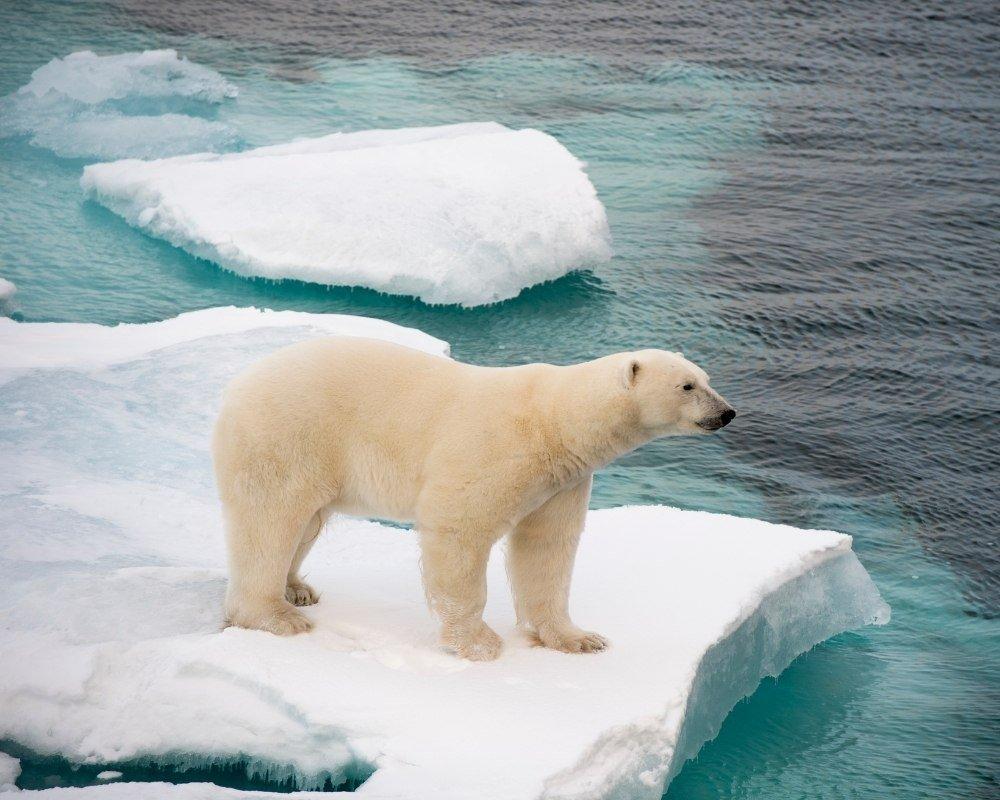 polar bear gestation period