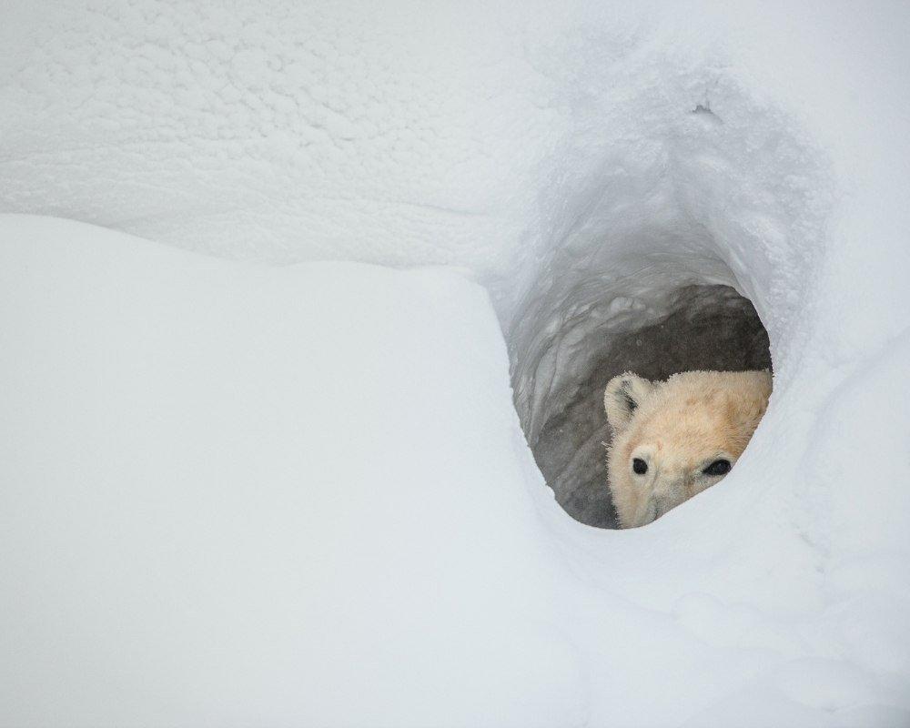 polar bear mating season