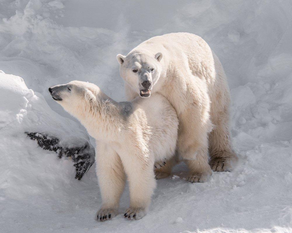 polar-bear-pregnancy