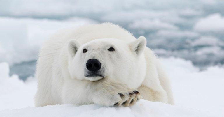 polar bears anatomy