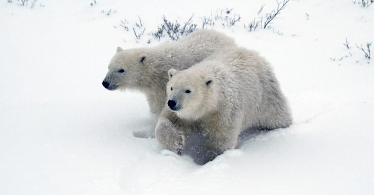 polar bears mating